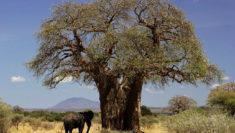 Baobab Africa essere donna 8 marzo festa della donna