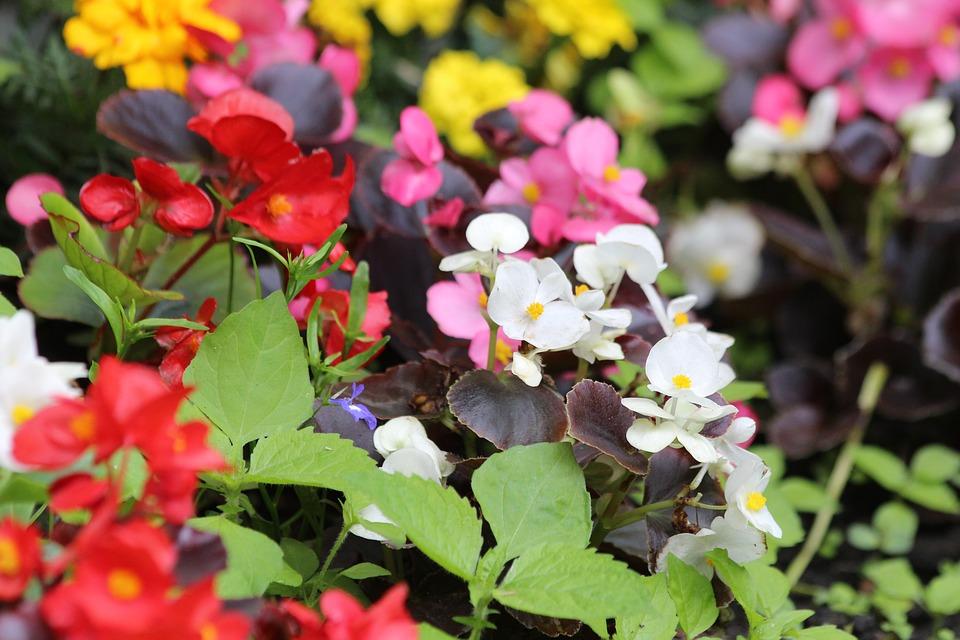 begonia giardiniere toscana