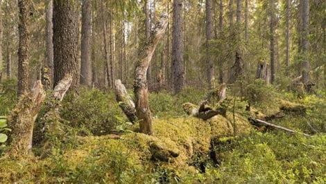 Foresta Dvinsky 1 Russia Greenpeace (2)