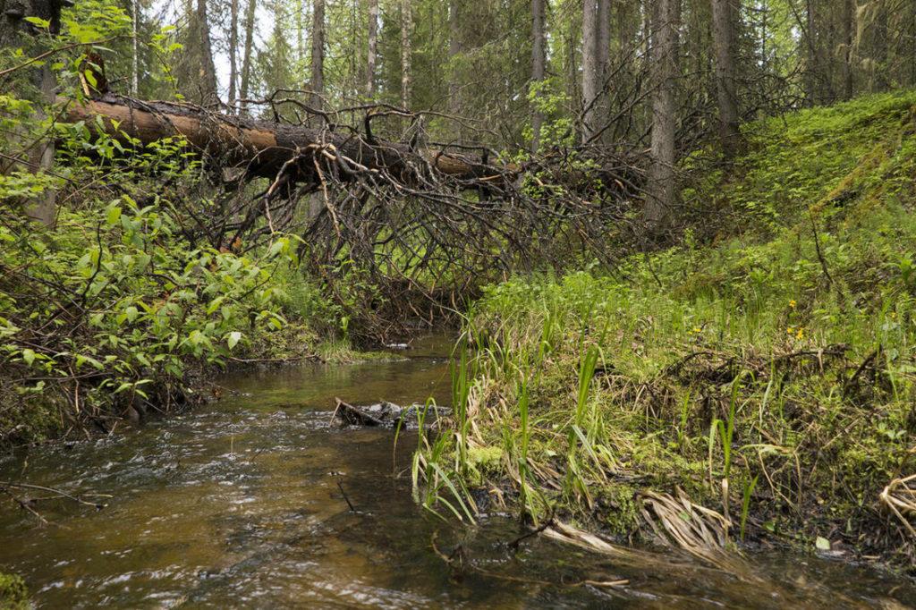Foresta Dvinsky 1 Russia Greenpeace (3)