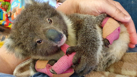 """""""Singing for Australia"""" un concerto per aiutare i Koala feriti dagli incendi Centro Recupero Ricci La Ninna Alba (3)"""