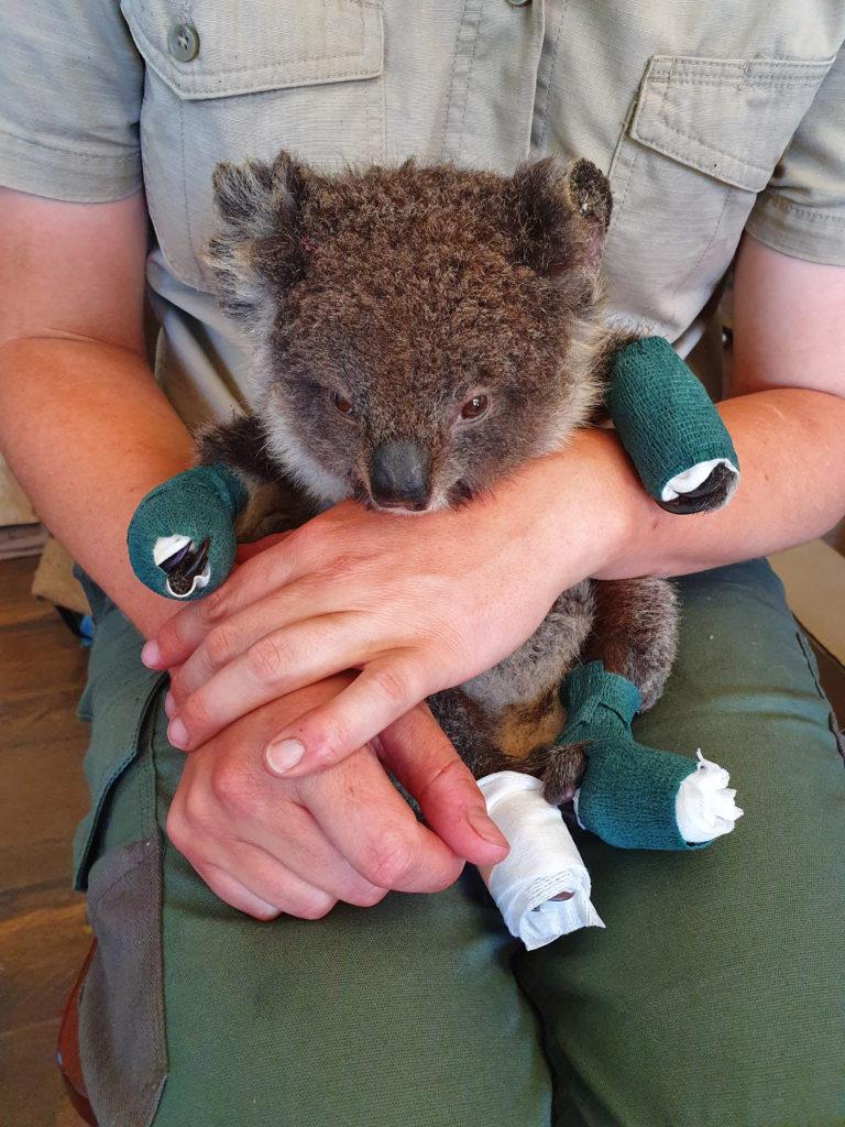 """""""Singing for Australia"""" un concerto per aiutare i Koala feriti dagli incendi Centro Recupero Ricci La Ninna Alba"""